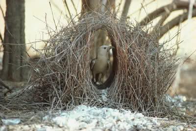 uccello-giardiniere